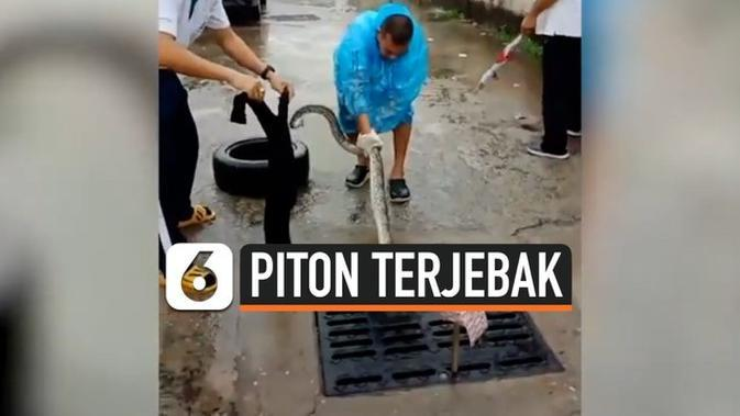 VIDEO: Ngeri, Ular Piton Tiba-Tiba Muncul dari Selokan