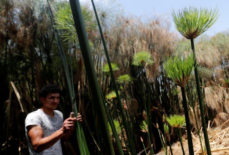A villager cuts papyrus plants in al-Qaramous village