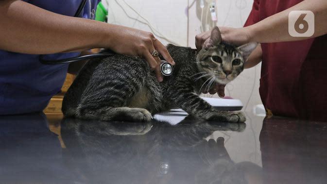 Petugas mempersiapkan operasi sterilisasi kucing di Klinik Hewan, kawasan Tebet, Senin (21/9/2020). Sudin Ketahanan Pangan, Kelautan, dan Pertanian (KPKP) Jakarta Selatan bekerjasama dengan sejumlah klinik hewan menggelar sterilisasi kucing dan vaksinasi rabies gratis. (Liputan6.cm/Herman Zakharia)