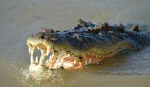 5百公斤巨鱷捕同類 牠慘遭拖走吞食
