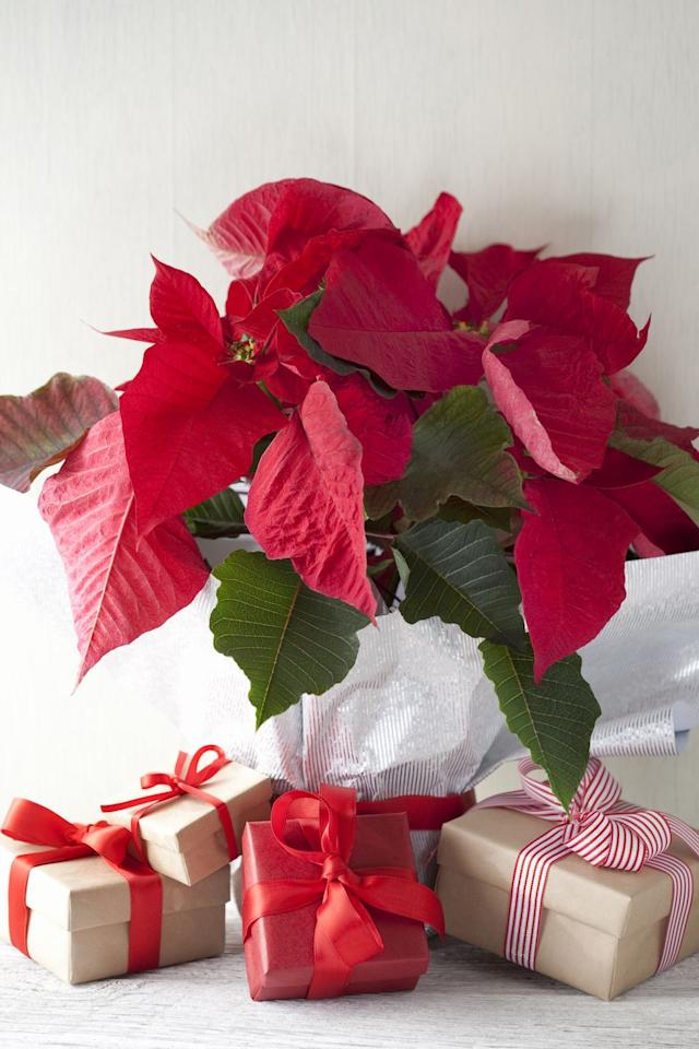 """<p>It's the signature Christmas houseplant, but the broad red petals didn't always dominate the holidays. <a href=""""http://articles.latimes.com/2008/dec/23/local/me-poinsettia23"""" target=""""_blank"""">One clever florist</a> figured out how to transform the plant from a gangly weed into a festive display in the '20s. By sending free plants to television stations in December, his family business then drove the association home.</p><p><strong><a class=""""body-btn-link"""" href=""""https://go.redirectingat.com?id=74968X1596630&url=https%3A%2F%2Fwww.fromyouflowers.com%2Fproducts%2Ftraditional_holiday_poinsettia.htm&sref=https%3A%2F%2Fwww.housebeautiful.com%2Fentertaining%2Fholidays-celebrations%2Fg3993%2Fbest-christmas-plants%2F"""" target=""""_blank"""">SHOP NOW</a></strong><strong><em> fromyouflowers<strong><em>.com</em></strong></em></strong><br></p>"""
