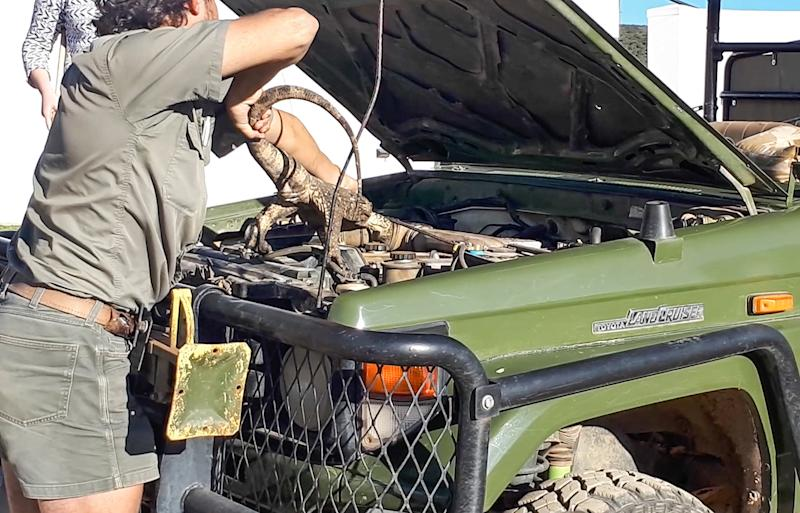 South African safari park ranger finds a huge rock monitor lizard in her car engine.