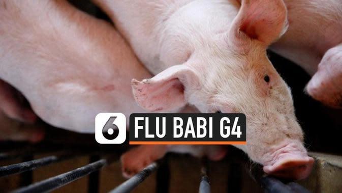 VIDEO: Ancaman Flu Babi G4 jadi Pandemi Baru