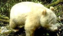北極熊迷路? 陸公布唯一「白貓熊」影像