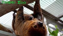 10月20日國際樹懶日 台北動物園今年有新夥伴一起過