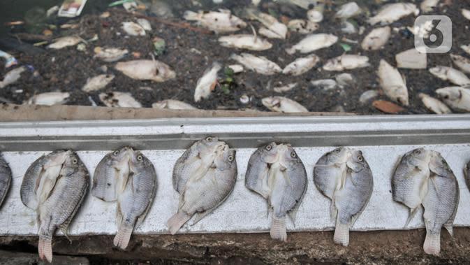 Sejumlah ekor ikan Mujair yang sempat diselamatkan dijemur oleh warga di Lio, Depok, Jawa Barat, Kamis (20/8/2020). Sejak dua hari terakhir ribuan ekor ikan Mujair mati dan memenuhi Situ Rawa Besar yang menurut warga setempat disebabkan oleh faktor cuaca. (merdeka.com/Iqbal S. Nugroho)