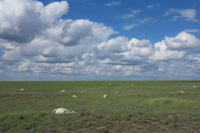 Saiga antelope deaths