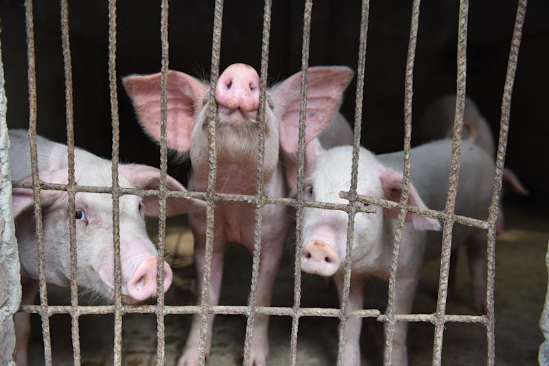 A view of pigs in a hog pen in Linquan county in central China's Anhui province Friday, July 05, 2019. China's agriculture ministry said a total of 143 outbreaks of African Swine Fever (ASF) have been reported in China since last August. (Photo credit should read AN MING / Barcroft Media via Getty Images)