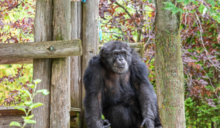 遠近之間:COVID-19疫情與守護黑猩猩的保育拔河