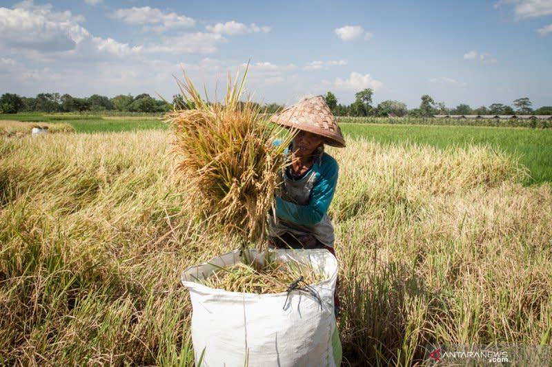 Sumsel ingin segera wujudkan bank gabah, bantu penggilingan padi kecil