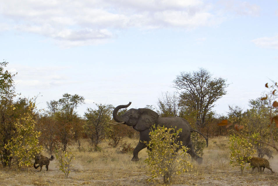 Elephant Fighting Off Hyenas