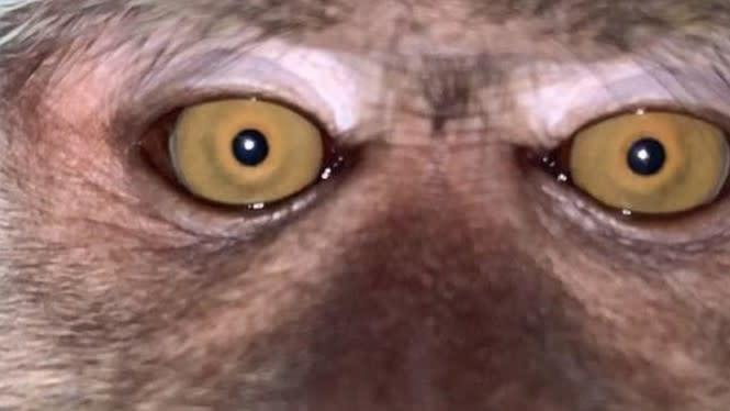 Ponsel Hilang di Hutan, Saat Ditemukan Sudah Penuh Foto Selfie Monyet