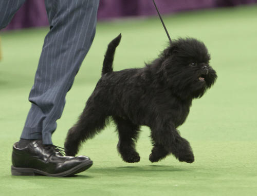 Ernesto Lara runs with Banana Joe, an affenpinscher, who won best in show during the 137th Westminster Kennel Club dog show Tuesday, Feb. 12, 2013, at Madison Square Garden in New York. (AP Photo/Frank Franklin II)