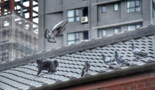 貓捕捉野鴿 (圖)