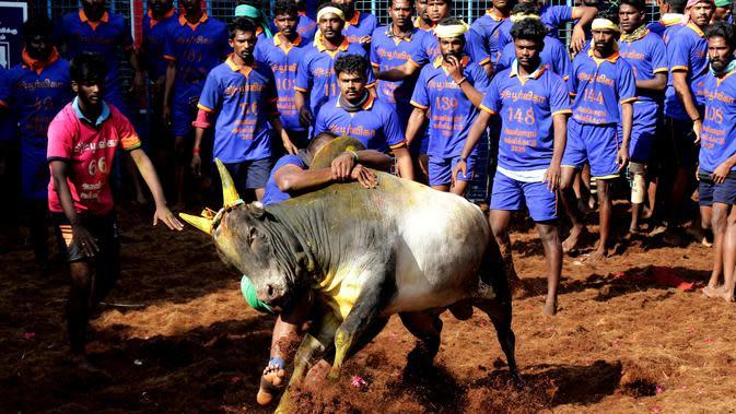 Para peserta mencoba menaklukkan seekor banteng di festival tahunan menjinakkan banteng, Jallikattu, di Desa Avaniyapuram di pinggiran Madurai, Negara Bagian Tamil Nadu, India, Rabu (15/1/2020). Mereka berusaha untuk menaklukkan banteng dengan memegang tanduknya kuat-kuat. (Xinhua/Stringer)