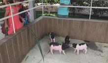 遊客失序欺負動物! 三隻小豬觀光農場開幕不到一週緊急關閉一天