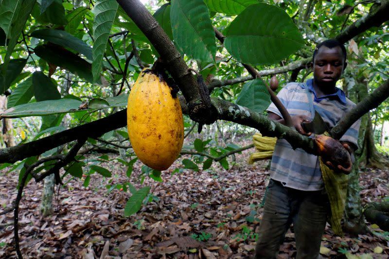 FILE PHOTO: A farmer cuts a cocoa pod at a cocoa farm in Bobia, Gagnoa, Ivory Coast