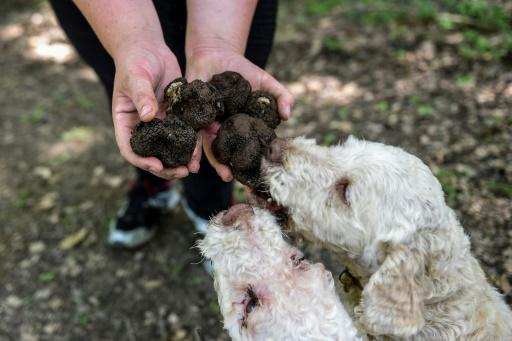 Albanian truffle hunters describe dicey turf wars in the country's forests, which have led to threats, dog poisonings and massacred trees