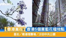 【香港賞花】5個賞藍花楹地點 星街/嘉道理農場/沙田中央公園