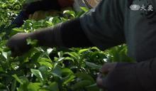 印尼三代茶農 發展出高經濟價值