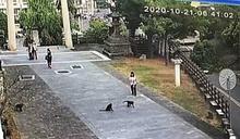 猴群攻入校園堵學生搶早餐 「驅猴預算」快用光