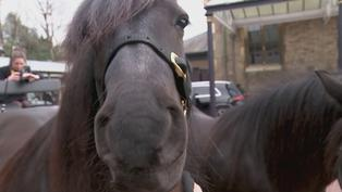A look at the Royal carriage ponies ahead of Duke's funeral