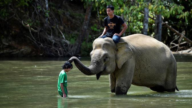 Gajah betina Sumatra menyentuh pengunjung saat mandi di sungai di Conservation Respons Unit (CRU) Sampoiniet, Aceh, Minggu (7/6/2020). Memasuki masa new normal pencegahan COVID-19, CRU Sampoiniet kembali membuka wisata konservasi meski membatasi jumlah kunjungan wisatawan. (CHAIDEER MAHYUDDIN/AFP)
