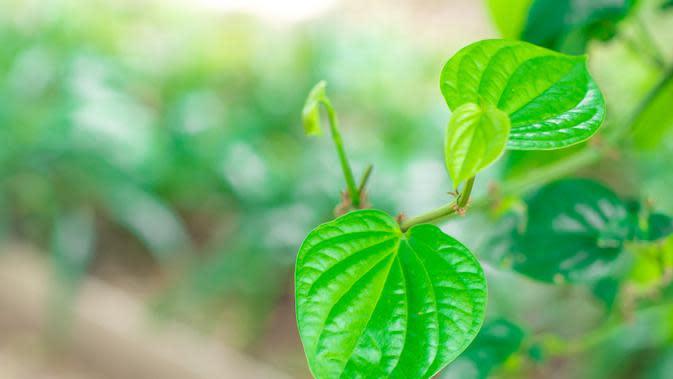 ilustrasi manfaat daun suruhan yang bisa dijadikan obat herbal/Zulashai/shutterstock