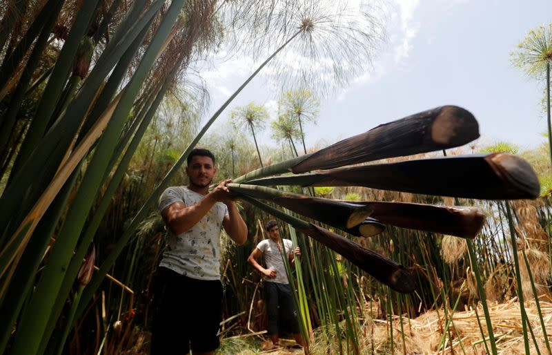 Mohamed Reda, 23, carries papyrus plants at a farm in al-Qaramous village