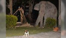大象因饑餓擅闖民宅 沒想到被喵星人「哈」到嚇跑