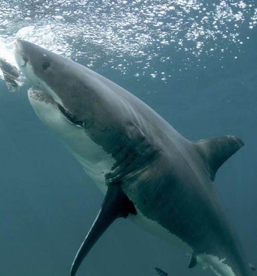This undated publicity image released by Discovery Channel shows a great white shark off the coast of New Zealand. Shark Week begins Sunday, Aug. 4 at 9 p.m. EST on Discovery. (AP Photo/Discovery Channel, Jeff Kurr)