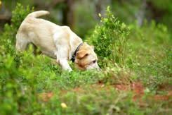 Anjing dilatih untuk mengendus COVID-19: badan amal