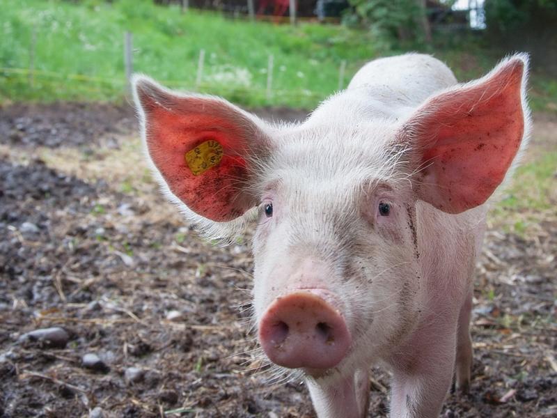 人類會患上非洲豬疫嗎?