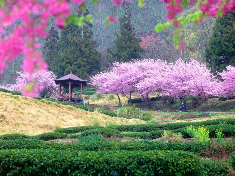 粉紅天堂打卡點!武陵農場賞櫻