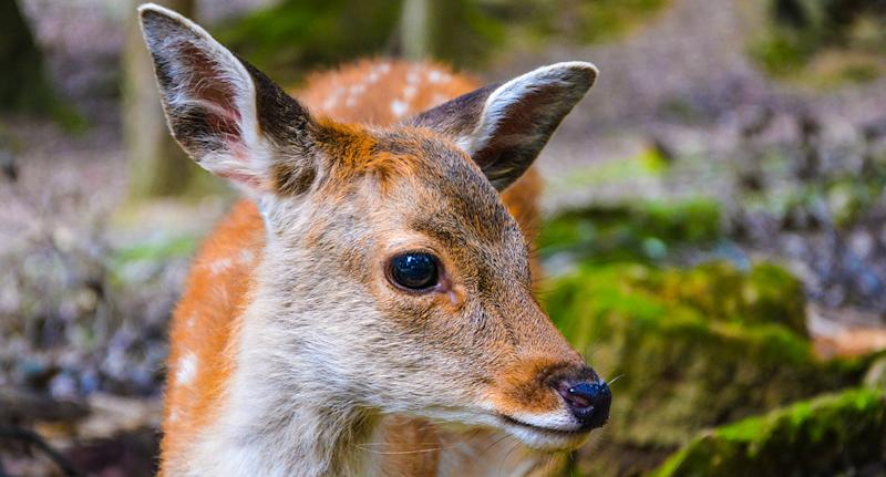 The cute face of a young sika deer found in the public Nara Park in Japan.