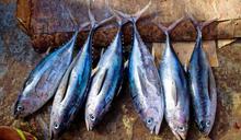 團結救鮪魚!太平洋8貧窮小國靠這招收服外國船隊 發大財又兼顧保育的永續漁業成功故事