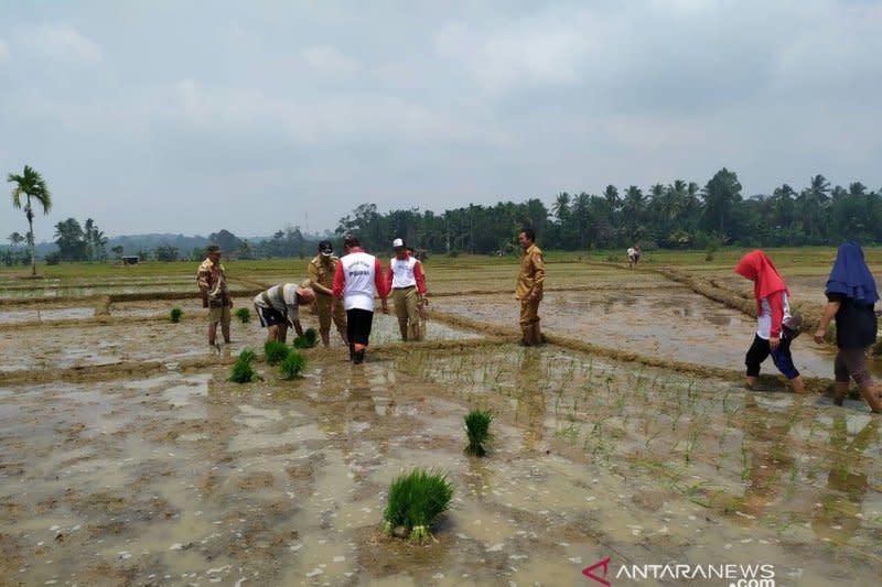Petani Mukomuko terancam tak bisa tanam benih padi bantuan pemerintah