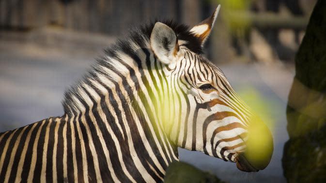 Seekor zebra terlihat di Kebun Binatang Warsawa di Warsawa, Polandia (16/4/2020). Kebun binatang tersebut berada di bawah tekanan keuangan setelah pemerintah memutuskan untuk menutup semua tempat hiburan, restoran dan tempat umum lainnya guna mengendalikan penyebaran coronavirus. (Xinhua/Jaap Arrien