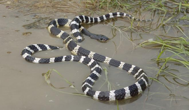 The Many-banded krait has been identified as one of two snakes that could be the reservoir for the coronavirus outbreak. Photo: AFCD