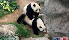 又中空寶 海洋公園指大熊貓盈盈今年並未懷孕