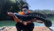 日月潭魚虎數量增多 林明溱要求盡速防治