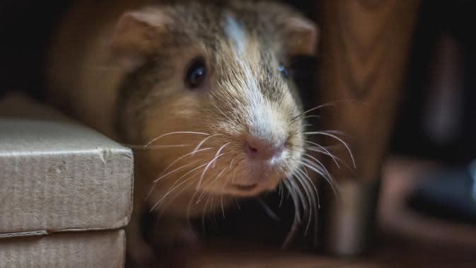 Tikus (sumber: Unsplash)