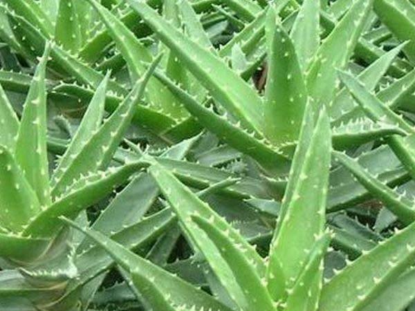 空汙警報器——蘆薈