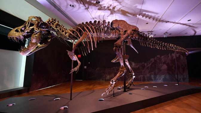 Kerangka Tyrannosaurus rex (T-Rex), bernama STAN dipajang selama pratinjau pers di Christie's Rockefeller Center pada 15 September 2020 di New York City. Christie's memperkirakan nilai dinosaurus antara US $ 6 juta dan US $ 8 juta atau setara Rp88 miliar-Rp 118 miliar. (Angela Weiss/AFP)