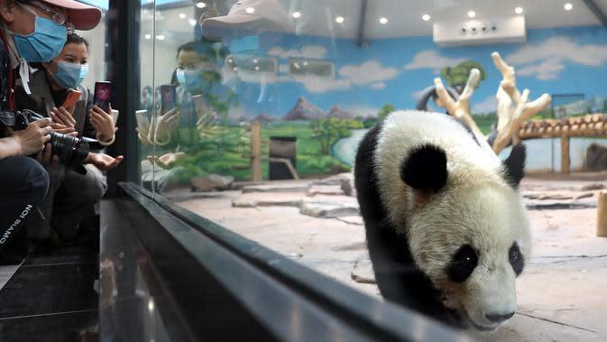 Panda raksasa bernama Qingcheng beraktivitas dalam kandangnya di sebuah kebun binatang di Anshan, Liaoning, China, Kamis (21/5/2020). Dua panda raksasa bernama A'ling dan Qingcheng akan tampil di hadapan publik usai menjalani fase adaptasi. (Xinhua/Yao Jianfeng)