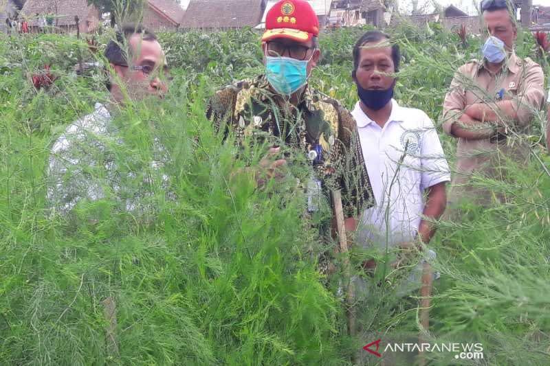 Pemerintah dorong pengembangan tanaman asparagus di Temanggung