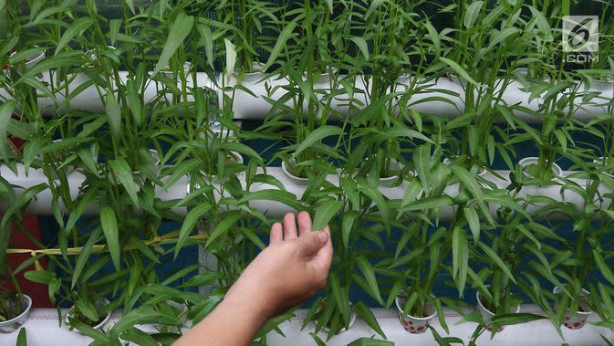 Tanaman kangkung yang berada di Kampung Hidroponik Pengadegan, Jakarta, Kamis (22/2). Hasil dari panen tersebut uangnya masuk dalam uang kas sebagai biaya pembelian nutrisi serta bibit untuk menanam sayuran baru. (Liputan6.com/Immanuel Antonius)