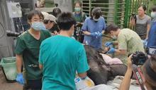 斷指台灣黑熊傷勢恢復 仍須3週才可痊癒