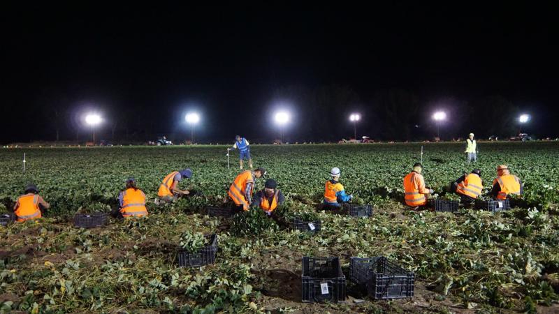 Farm workers wearing orange jackets pick fruit in lush fields.