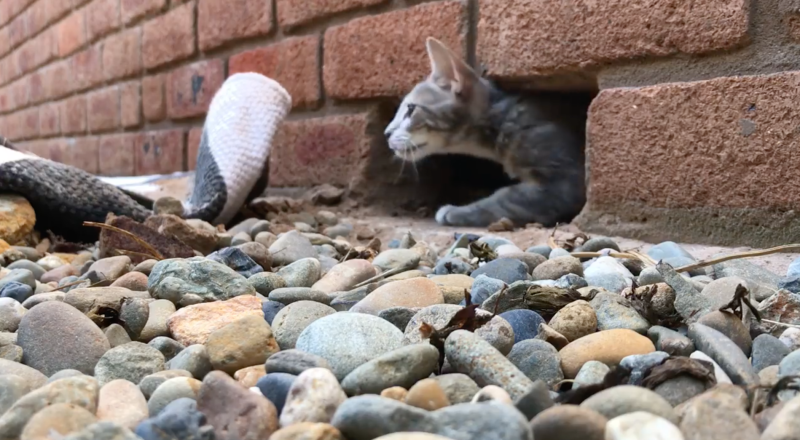 Sydney kitten freed from Sutherland Shire brick wall